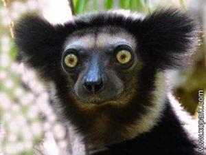 Indri - Babakoto - Indri indri - Indriidés - Indriidae