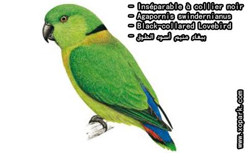 inseparable-a-collier-noir-agapornis-swindernianus-black-collared-lovebird-xopark2