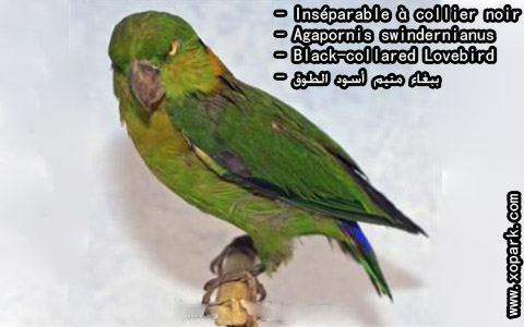 inseparable-a-collier-noir-agapornis-swindernianus-black-collared-lovebird-xopark3