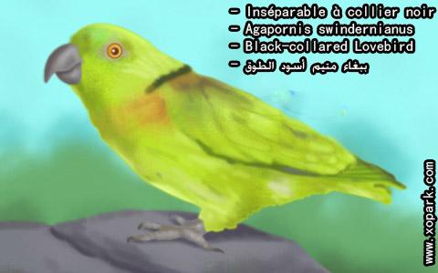 inseparable-a-collier-noir-agapornis-swindernianus-black-collared-lovebird-xopark4