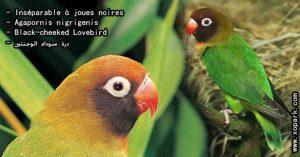 Agapornis nigrigenis (Inséparable à joues noires - Black-cheeked Lovebird) est une espèce d'inséparables de la famille des Psittacidés, ses descriptions, ses photos et ses vidéos sont ici àxopark.com