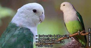 Agapornis canus (Inséparable à tête grise - Grey-headed Lovebird) est une espèce d'inséparables de la famille des Psittacidés, ses descriptions, ses photos et ses vidéos sont ici àxopark.com