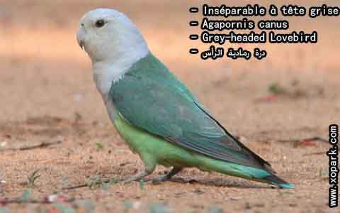 Inséparable à tête grise – Agapornis canus – Grey-headed Lovebird – xopark10