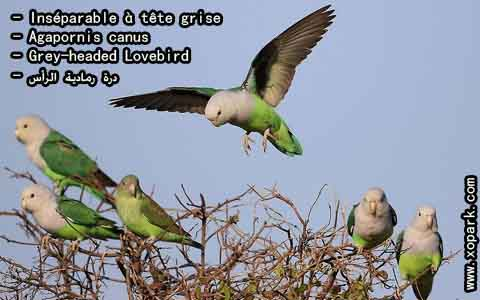 Inséparable à tête grise – Agapornis canus – Grey-headed Lovebird – xopark2