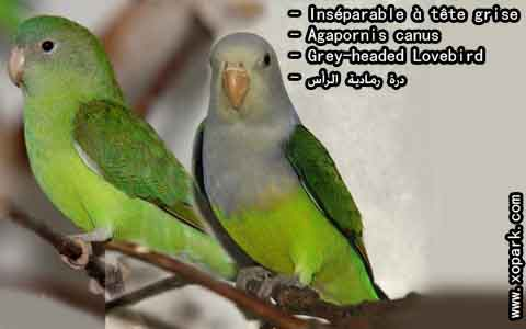 Inséparable à tête grise – Agapornis canus – Grey-headed Lovebird – xopark3
