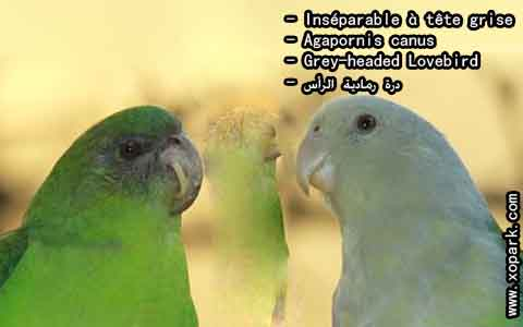 Inséparable à tête grise – Agapornis canus – Grey-headed Lovebird – xopark4