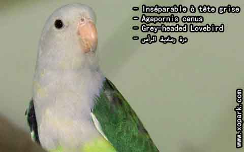 Inséparable à tête grise – Agapornis canus – Grey-headed Lovebird – xopark5