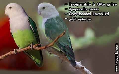 Inséparable à tête grise – Agapornis canus – Grey-headed Lovebird – xopark6