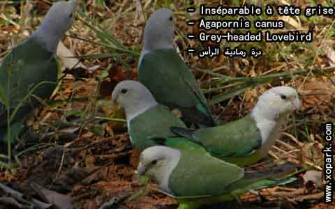 Inséparable à tête grise – Agapornis canus – Grey-headed Lovebird – xopark7