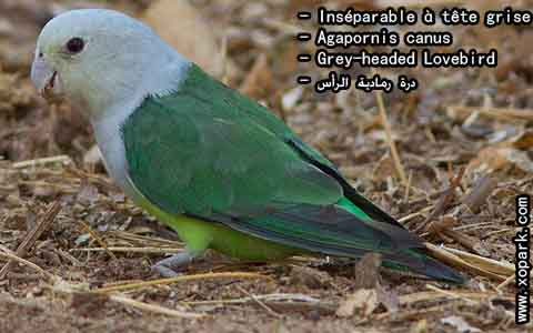 Inséparable à tête grise – Agapornis canus – Grey-headed Lovebird – xopark8