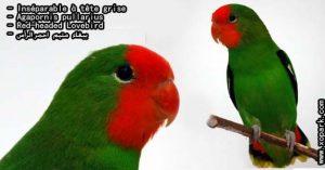Agapornis pullarius (Inséparable à tête rouge - Red-headed Lovebird) est une espèce d'inséparables de la famille des Psittacidés, ses descriptions, ses photos et ses vidéos sont ici àxopark.com