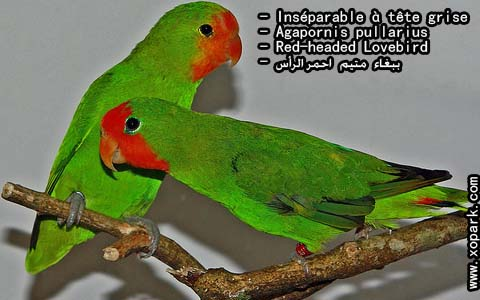 inseparable-a-tete-rouge-agapornispullarius-red-headedlovebird-xopark1