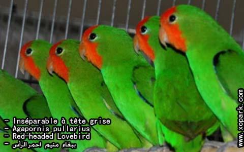 inseparable-a-tete-rouge-agapornispullarius-red-headedlovebird-xopark10
