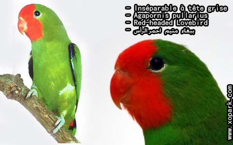 inseparable-a-tete-rouge-agapornispullarius-red-headedlovebird-xopark2