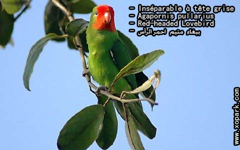 inseparable-a-tete-rouge-agapornispullarius-red-headedlovebird-xopark3