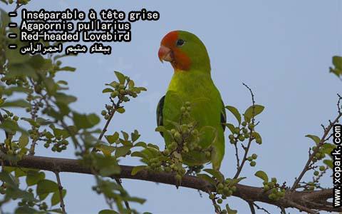 inseparable-a-tete-rouge-agapornispullarius-red-headedlovebird-xopark4