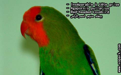 inseparable-a-tete-rouge-agapornispullarius-red-headedlovebird-xopark5