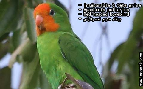 inseparable-a-tete-rouge-agapornispullarius-red-headedlovebird-xopark6
