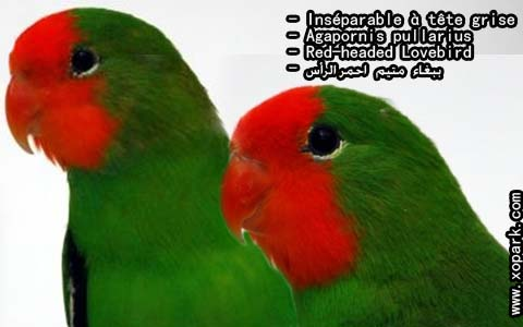 inseparable-a-tete-rouge-agapornispullarius-red-headedlovebird-xopark7