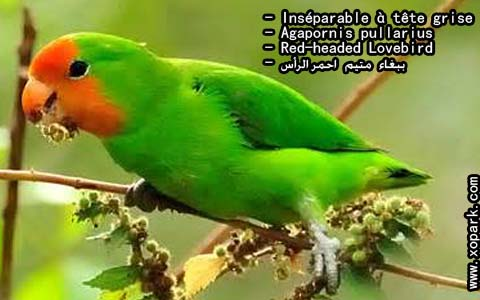 inseparable-a-tete-rouge-agapornispullarius-red-headedlovebird-xopark8