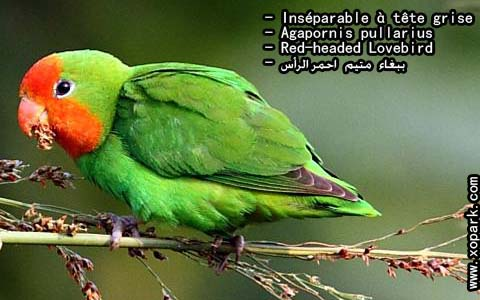 inseparable-a-tete-rouge-agapornispullarius-red-headedlovebird-xopark9