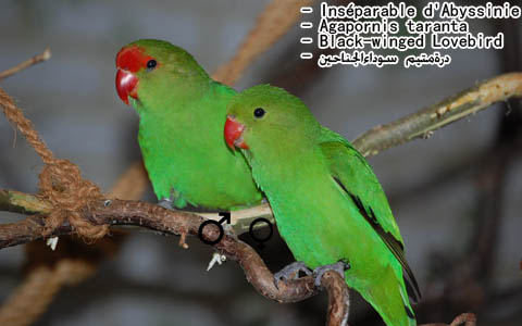 inseparable-dabyssinie-agapornistaranta-black-wingedlovebird-xopark5