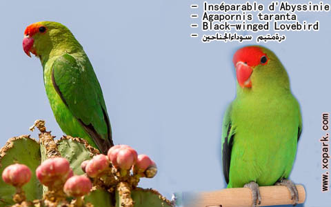 inseparable-dabyssinie-agapornistaranta-black-wingedlovebird-xopark6