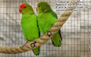 Agapornis taranta (Inséparable d'Abyssinie - Black-winged Lovebird) est une espèce d'inséparables de la famille des Psittacidés, ses descriptions, ses photos et ses vidéos sont ici àxopark.com