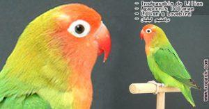 Agapornis lilianae (Inséparable de Lilian - Lilian's Lovebird) est une espèce d'inséparables de la famille des Psittacidés, ses descriptions, ses photos et ses vidéos sont ici àxopark.com