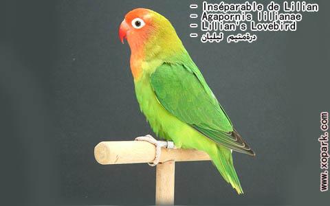 inseparable-de-lilian-agapornis-lilianae-lilians-lovebird-xopark2