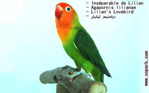 inseparable-de-lilian-agapornis-lilianae-lilians-lovebird-xopark4