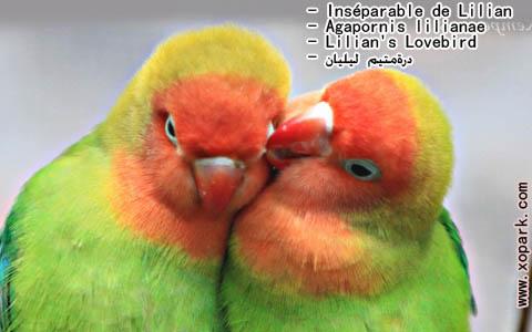 inseparable-de-lilian-agapornis-lilianae-lilians-lovebird-xopark5