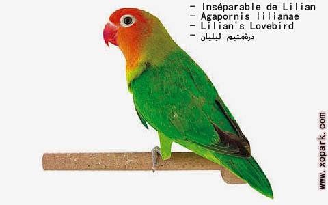 inseparable-de-lilian-agapornis-lilianae-lilians-lovebird-xopark6