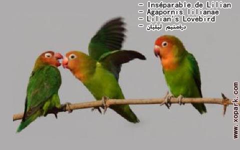 inseparable-de-lilian-agapornis-lilianae-lilians-lovebird-xopark7