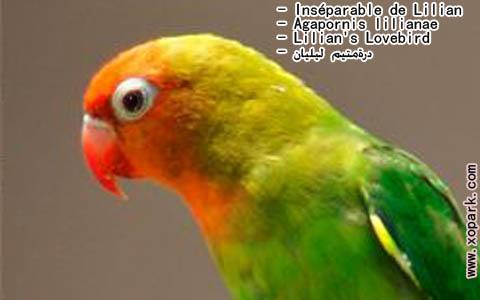 inseparable-de-lilian-agapornis-lilianae-lilians-lovebird-xopark8