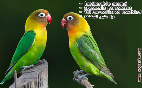 inseparable-masque-agapornis-personatus-yellow-collared-lovebird-xopark1