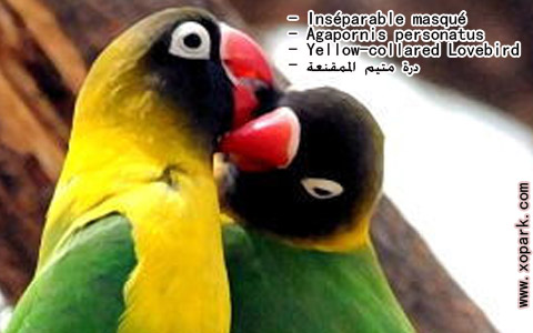 inseparable-masque-agapornis-personatus-yellow-collared-lovebird-xopark10