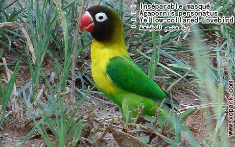 inseparable-masque-agapornis-personatus-yellow-collared-lovebird-xopark2