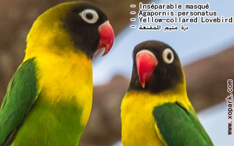 inseparable-masque-agapornis-personatus-yellow-collared-lovebird-xopark3