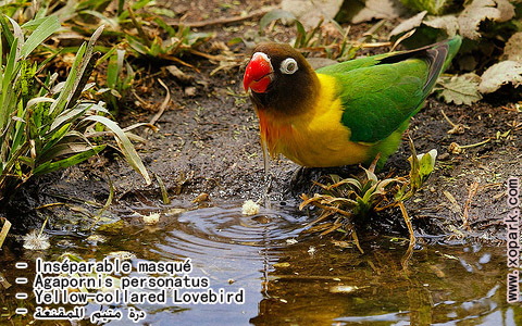 inseparable-masque-agapornis-personatus-yellow-collared-lovebird-xopark4