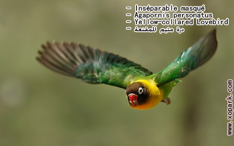inseparable-masque-agapornis-personatus-yellow-collared-lovebird-xopark5