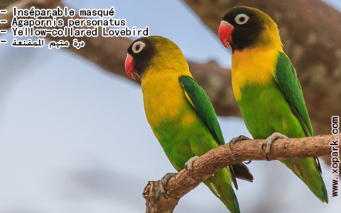inseparable-masque-agapornis-personatus-yellow-collared-lovebird-xopark6