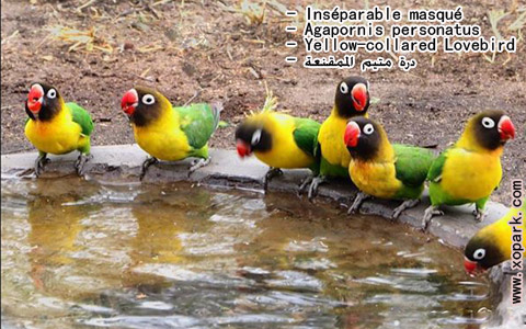 inseparable-masque-agapornis-personatus-yellow-collared-lovebird-xopark7