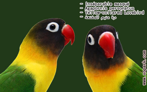 inseparable-masque-agapornis-personatus-yellow-collared-lovebird-xopark8