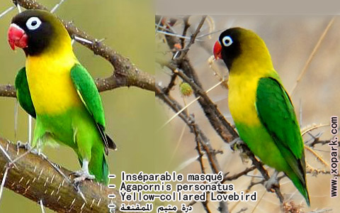 inseparable-masque-agapornis-personatus-yellow-collared-lovebird-xopark9