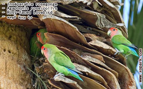 inseparable-rosegorge-agapornis-roseicollis-rosy-faced-lovebird-xopark11