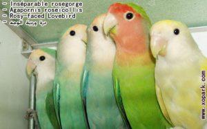 Agapornis roseicollis (Inséparable rosegorge - Rosy-faced Lovebird) est une espèce d'inséparables de la famille des Psittacidés, ses descriptions, ses photos et ses vidéos sont ici àxopark.com