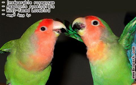inseparable-rosegorge-agapornis-roseicollis-rosy-faced-lovebird-xopark14