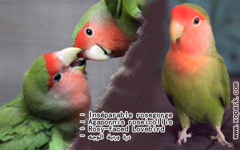 inseparable-rosegorge-agapornis-roseicollis-rosy-faced-lovebird-xopark15