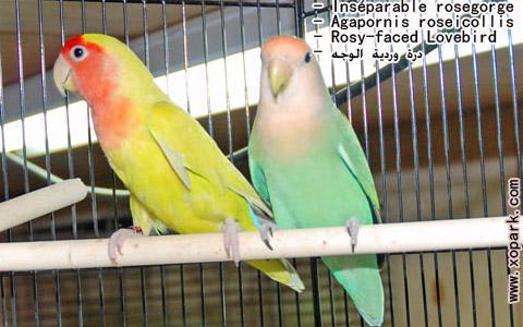 inseparable-rosegorge-agapornis-roseicollis-rosy-faced-lovebird-xopark16